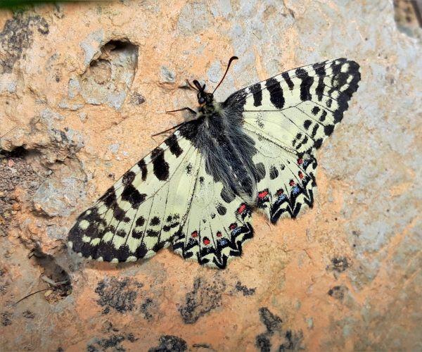 Zerynthia cretica (endemic) - photo © K. Bormpoudaki