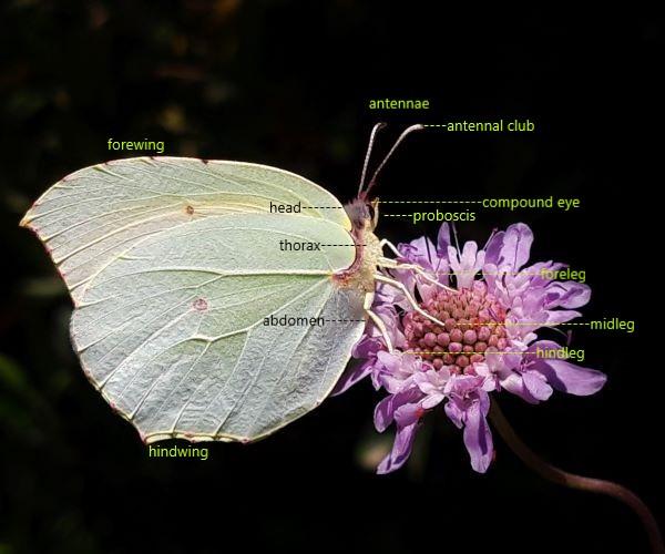 Anatomy of a butterfly - photo © K. Bormpoudaki