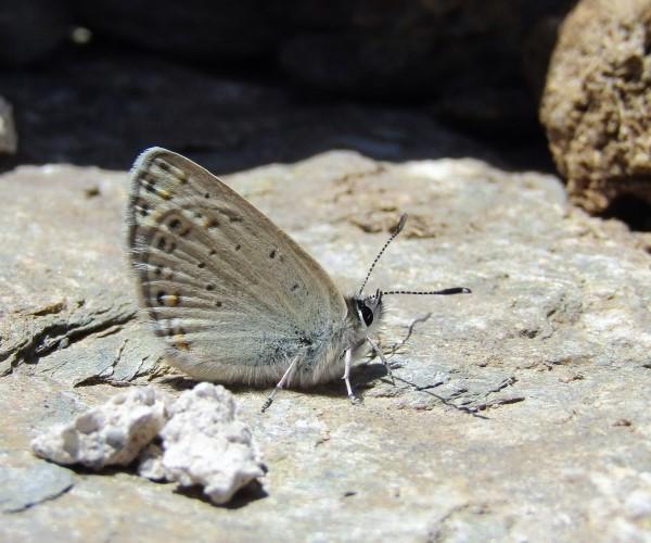 Kretania psylorita (endemic) - photo © L.N. Pamperis